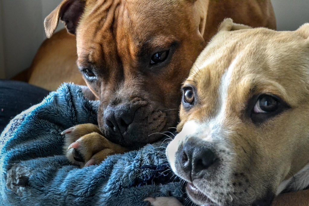 staffie et chiot american bully