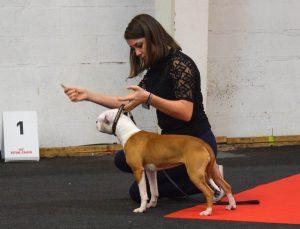Staffordshire bull terrier en exposition canine