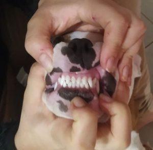 Dentition en ciseau du staffie
